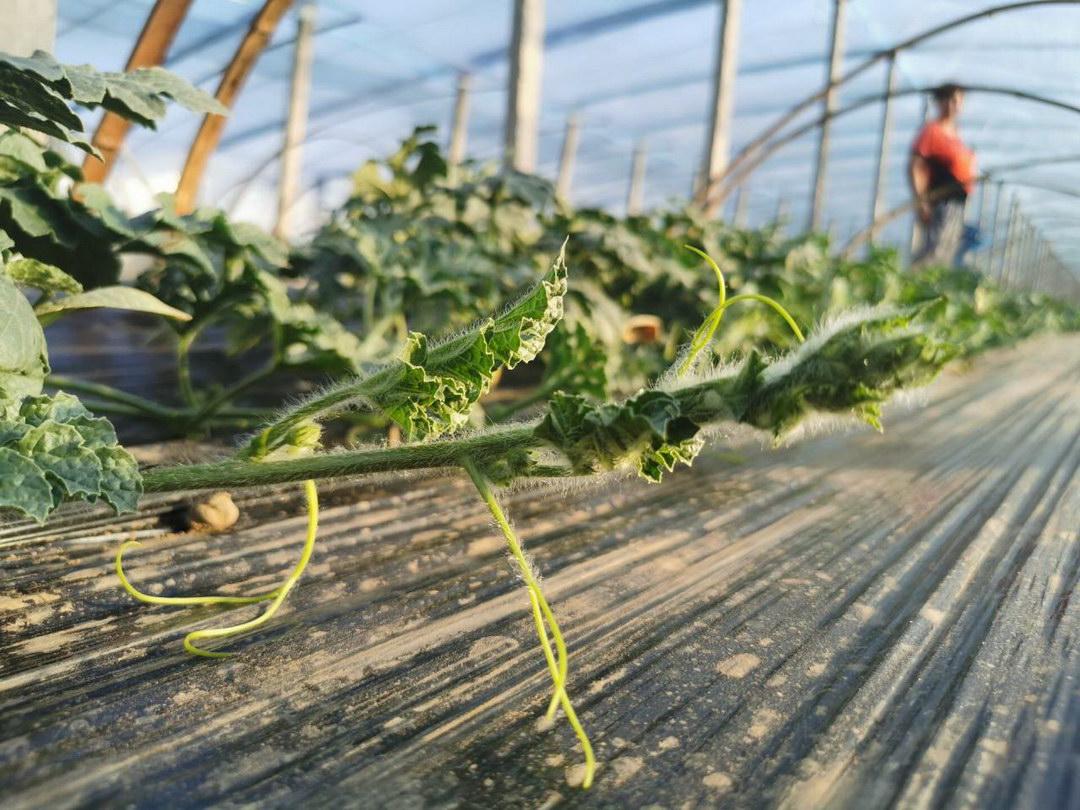 蔬菜大棚也有春天