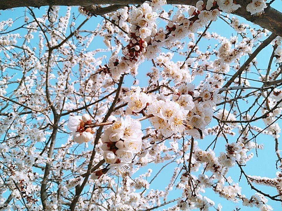 西山前盛开的樱花