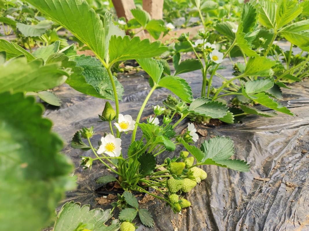 惜福镇的草莓