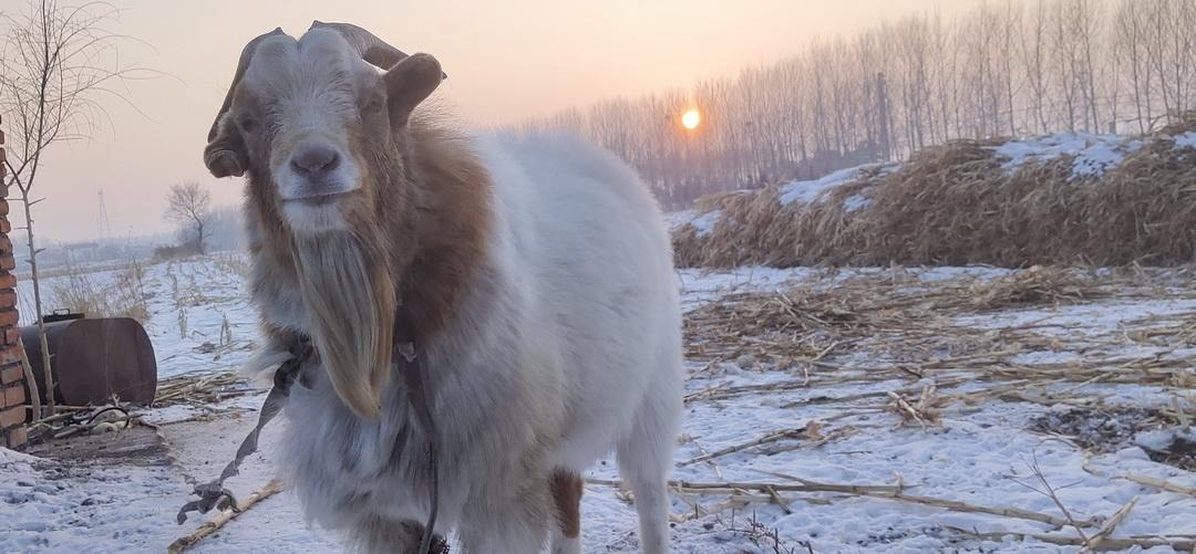 故乡的老山羊
