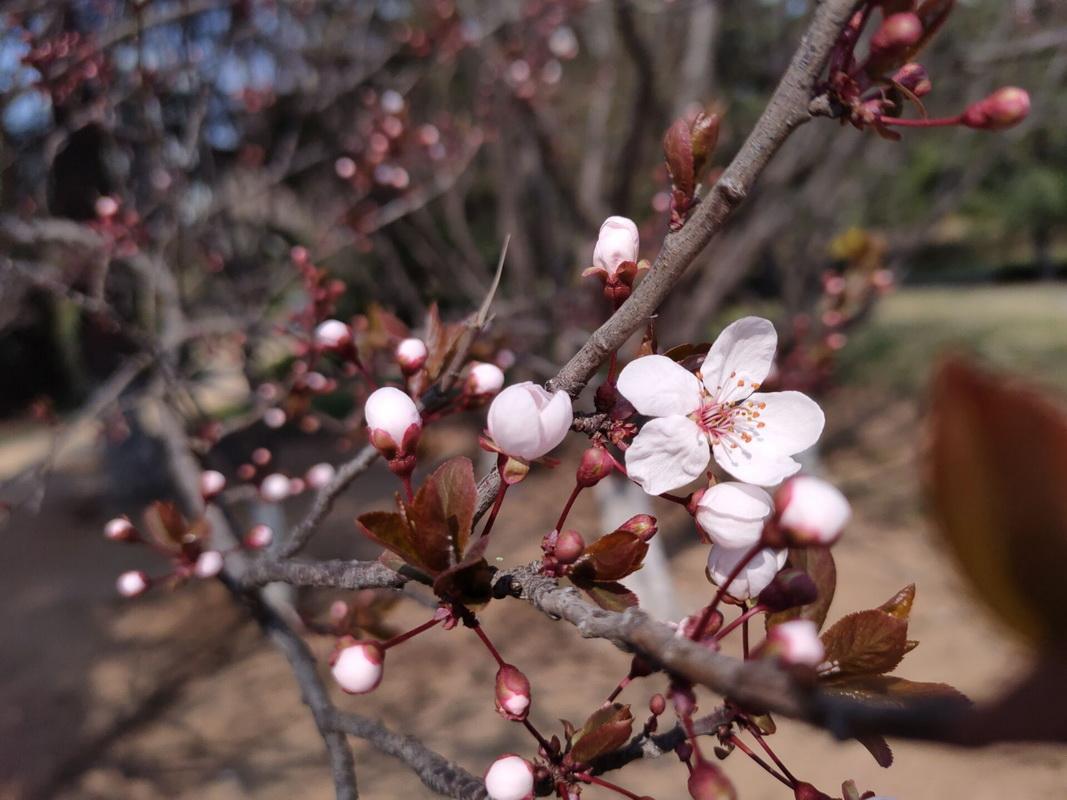 春花灿烂:美丽的即墨区宪法主题公园