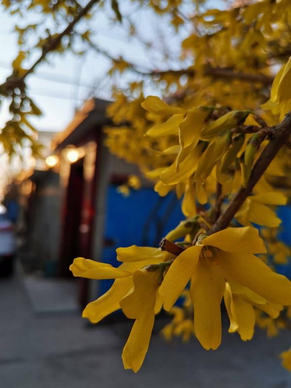 小院迎春花