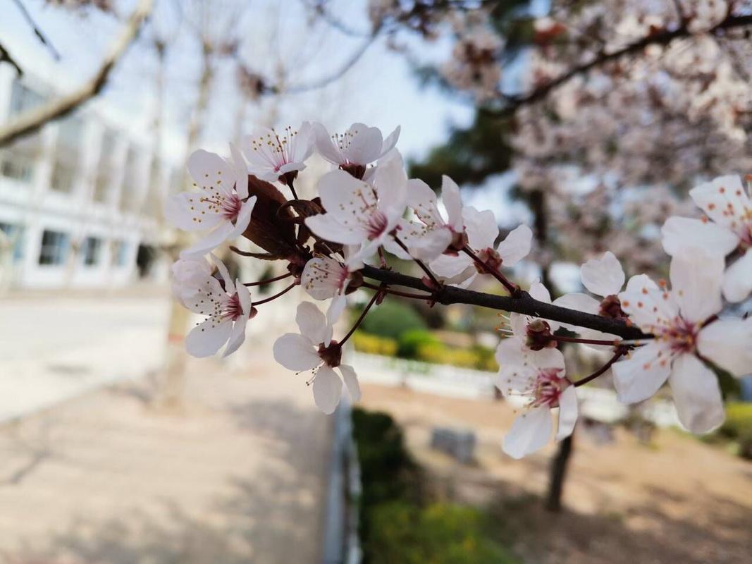 春满校园  美丽的即墨二专