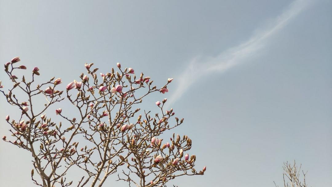 春天的玉兰花
