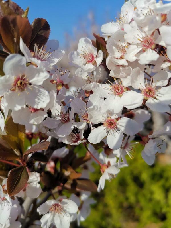 大沽河的桃花