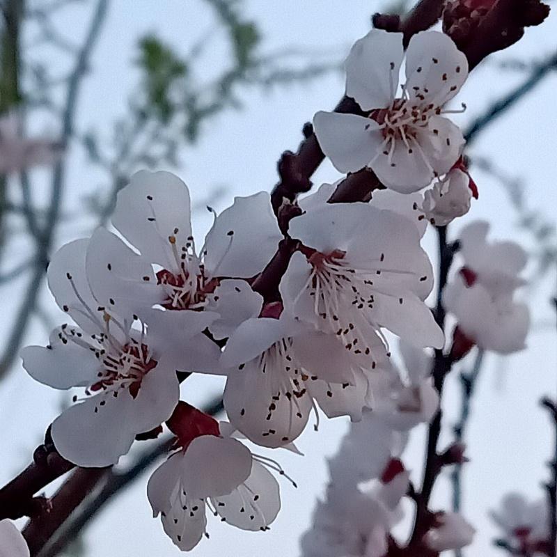 沪沱村的桃花